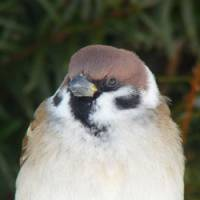 Singing the praises of sparrows