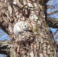 On lookout: A Siberian flying squirrel surveys its Hokkaido forest habitat prior to launching itself from atop a burl.