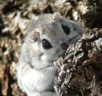 Eye-catcher: Caught on camera in a Hokkaido forest, this Siberian flying squirrel (Pteromys volans) has huge, jet-black, domed eyes enabling it to see at night and in late evening when it is most active. Able to glide for more than 100 meters, these rodents feed mainly on seeds, nuts, buds and berries and make nests in holes or cracks in trees, especially favoring old woodpecker holes.