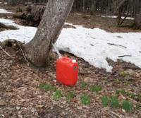 Sap tap: Mr. Matsuki's simple but effective way of collecting the sweet sap from a native maple, from which he then brews up superb syrup.