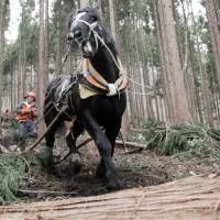 Harnessing nature: Takashi Iwama, horse-logging recently in a national forest, rides on trimmed-out timber being hauled by his powerful partner, Samurai King — who he then leads back for more. | CONAN MORIMOTO