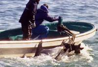 Serial killers: Dolphins are rounded up and slaughtered in 'The Cove.'   © OCEANIC PRESERVATION SOCIETY. ALL RIGHTS RESERVED