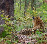 What's for lunch?: Siberian tigers, which evolution has fitted with protective 'eye' markings on the back of their ears, need 8 kg of meat a day to survive. | JOHN GOODRICH PHOTO