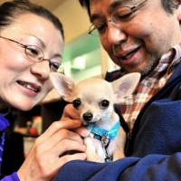Puppy love: Mikimasa Maeki (right) and his wife, Takako, fuss over their 4-month-old chihuahua named Momotaro at a class for puppies and their owners held at dog-friendly cafe Plus Wan! in Tokyo's Itabashi Ward on Jan. 30.   YOSHIAKI MIURA PHOTO