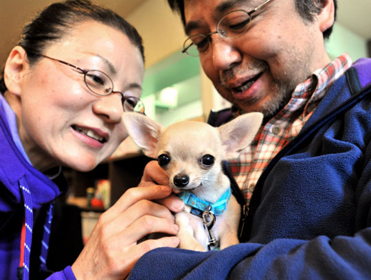 Puppy love: Mikimasa Maeki (right) and his wife, Takako, fuss over their 4-month-old chihuahua named Momotaro at a class for puppies and their owners held at dog-friendly cafe Plus Wan! in Tokyo's Itabashi Ward on Jan. 30. | YOSHIAKI MIURA PHOTO