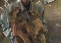 Sad ending: A still from the film 'Inu to Neko to Ningen to' ('Dogs, Cats & Humans') by Motoharu Iida shows a worker at an animal-management center in Chiba Prefecture with two abandoned puppies. Such animals are killed by gassing within several days of arriving unless someone offers to give them a home. | MOTOHARU IIDA PHOTO