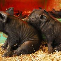 Fattening fare: A pair of piglets, which would have been around 1.2 kg at birth, are seen here at 10 days old, by when their weight has already doubled. | NOBUO ONISHI PHOTOS