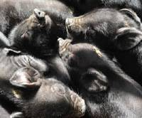 Lives and death: Baby pigs at the Yukari Gakuen farm in Kagoshima, Kyushu (left), enjoy the warmth and contact of slumbering together; while for this grown porker (below), it's the end of the line as a farm staffer delivers it to a local slaughterhouse.