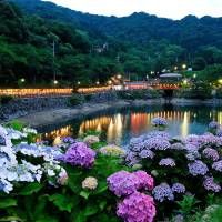 Budding beauty: Hydrangeas decorate the Katahara Hot Spring resort in Aichi Prefecture. Many temples will also hold hydrangea festivals this month.