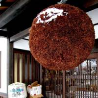 Entrance ball: A traditional sakabayashi globe of Cryptomeria (Japanese cedar) needles hangs outside a sake store.