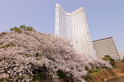 Hanami plan for overseas guests