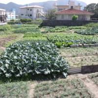 Some of the islanders' many kitchen gardens. | HILLEL WRIGHT PHOTO