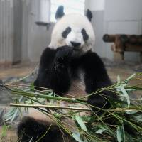 Shin Shin, a female giant panda, is seen Monday at  Tokyo's Ueno Zoo. Although she had shown symptoms unique to pregnant pandas, prompting public viewing to be suspended June 4, officials at the zoo said  Tuesday that she does not appear to be with cub. The zoo will continue to keep watch until reaching a final conclusion.  STORY: PAGE 2 | UENO ZOO/KYODO