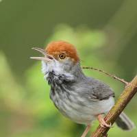 Cambodia finds new bird species