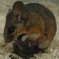 Like mother, like father: A male California deer mouse crouches over a pup to keep it warm in a laboratory at Randolph-Macon College in Ashland, Virginia. | THE WASHINGTON POST