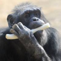No quarterback: Chimpanzees are not renowned for their throwing ability. | AFP-JIJI