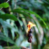 Nutty lighting: The round nuts of Hawaii's kukui can be dried and set alight to make candles. | C.W. NICOL