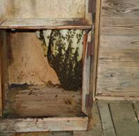 Buzz off: The bees that built their nest in my sauna locker (top) had it easy for more than a year. Then along came Mr. Matsuki this June to slice off the combs (above) and squeeze out the honey (below). Some other combs with bee grubs in them, he put into a hive he brought with him to try to start a new colony. | C.W. NICOL PHOTOS
