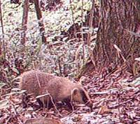 Brock spot: A badger, misleadingly named  ana guma  (hole bear) in Japanese, snuffles through our woods.