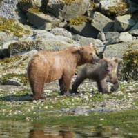 Quality time: A Brown bear cub sticks close to its mother as the pair pause in their hunt for 'butter clams' on the shores of Geographic Harbour in Alaska's Katmai National Park.