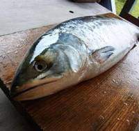Time's up: A mug shot of the fine toki shirazu salmon prior to my setting about it with sharp instruments.