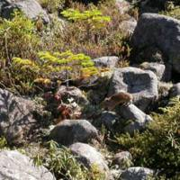 Home ground: This pika seen north of Obihiro in Hokkaido blends wonderfully with the species' favored rocky habitat.