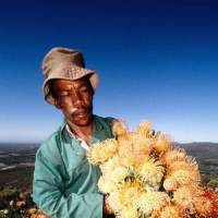 Flower power: A man at work for a UNDP/GEF-supported sustainable wildflower harvesting business in the Cape Floristic Region of South Africa. | CLAUDIO VASQUEZ ROJAS PHOTO