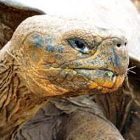 Old-timer: A Galapagos tortoise, the largest tortoise species remaining on Earth.