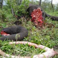 The aftermath of a poachers' kill. | PHOTO COURTESY OF MARA CONSERVANCY
