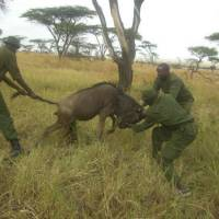 Gnu life: A frightened wildebeest (aka a gnu) struggles as Maasai Mara rangers release it from a snare set by villagers to catch themselves some bushmeat. Lions and elephants are among other animals also lost to such snares. | PHOTO COURTESY OF MARA CONSERVANCY