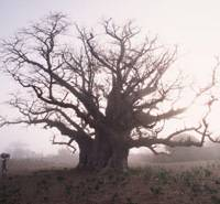 Tower of strength: In 'Baobab no Kioku,' the traditional importance of the baobab tree to villagers in Senegal is investigated by director Seiichi Motohashi.