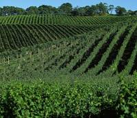 Chill out: Some in the Australian wine industry are trying to shift the focus to wines from cooler climates and lesser-known regions in the country. Left: Lenswood Vineyards in South Australia   © AUSTRALIAN WINE EXPORT COUNCIL