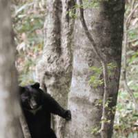 Peekaboo: A bear in a Hiroshima Prefecture wood is caught on camera by Kazuhiko Maita, director of the Institute for Asian Black Bear Research and Preservation. | KAZUHIKO MAITA