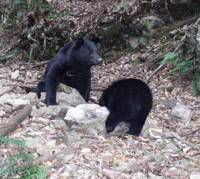 Family outing: A mother and her cub are caught by an automatic-sensor camera as they forage for food in a streambed in a forest in Mie Prefecture. | HIDEYUKI YOSHIZAWA