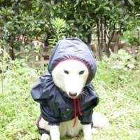 Kitted out: Once a househound who wouldn't step in puddles, Chaine the husky is seen here wearing a raincoat during her transition to 'outdoors dog.' | MOTOKO SHIRAISHI PHOTO