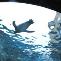 A penguin wows visitors as it swims overhead. | WINIFRED BIRD PHOTO