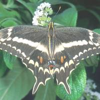 U.S. butterfly decline signals environment woes