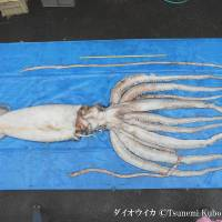 Great catch: A giant squid (Architeuthis japonica) is pictured as part of an exhibition on creatures of the ocean. | © TSUNEMI KUBODERA/NMNS