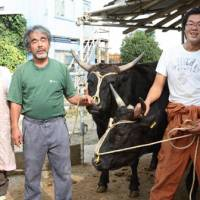 All for the love of Tajima cows