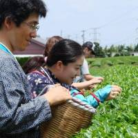 Green fingers: Visitors pick tea at the sprawling Greenpia Makinohara complex of tea fields and factory buildings in the hills above Kanaya in Shizuoka Prefecture.   MANDY BARTOK PHOTOS
