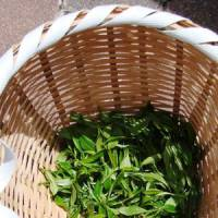 Slim pickings: A basket holds the fruits of a visitor's 20 minutes of harvesting — enough leaves for around 20 grams of tea.