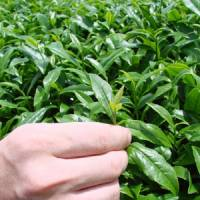 Tea times: Picking tea at the Greenpia Makinohara center outside Kanaya (above), where there's no shortage of cuppas for visitors (below) — or tea-themed meals at the center's Maruobara restaurant (bottom).
