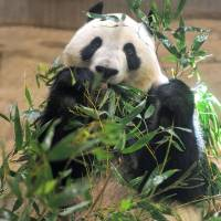 Eating for one: Shin Shin munches on bamboo leaves Wednesday at Ueno Zoo. | UENO ZOO/KYODO
