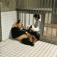 Helping hand: A keeper at Adventure World in Shirahama, Wakayama Prefecture, handles a twin panda cub as its mother, Rauhin, holds its sibling. The twins are put in incubators alternately so that the mother can nurse one at a time.   COURTESY OF ADVENTURE WORLD/KYODO