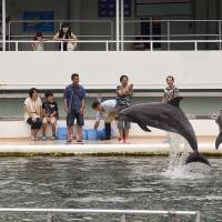 Surging numbers:  Visitors learn about dolphins at Shimoda Aquarium in Shizuoka Prefecture on Sunday. The aquarium is one of just a handful in Japan that does not take dolphins from the wild but instead breeds them on-site. | ROB GILHOOLY