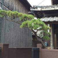 The pine branch arching over the entrance to a house is a common Japanese landscaping technique. The pine tree is a symbol of longevity in Japan. | AMY CHAVEZ