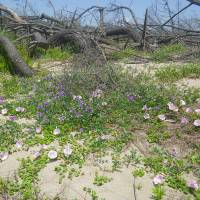 Native flora is already staging its own post-tsunami recovery without any human intervention. | YOSHIHIKO HIRABUKI