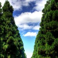 Solemn sentinels: Towering cedars line the avenue leading to the Imperial tomb.   ALON ADIKA PHOTO