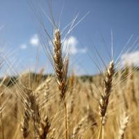 Wheat, seen growing under the summer sun, is set to see its price increase for the third time in a year, adding to inflation as Prime Minister Shinzo Abe's economic stimulus weakens the yen and boosts costs. | KYODO