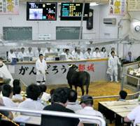 How now?: A cattle auction is held Wednesday in Miyakonojo, Miyazaki Prefecture, the first in almost half a year.   KYODO PHOTO